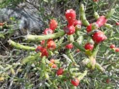 Red and green tasajillo cactus.
