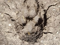 Optical illusion paw print with shadows making it appear to come out of the ground instead of into.