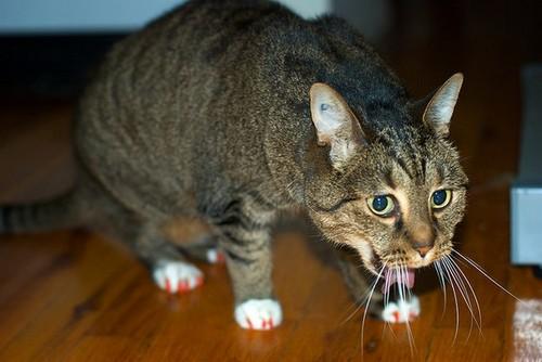 Почему может возникать отек легких у кошек. Выясняем причины отёка легких у кошек: диагностика, профилактика и лечение