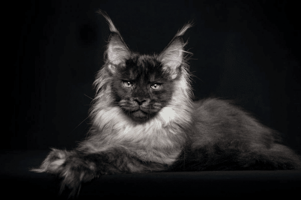robertsijka12 Majestic Portraits of Maine Coon cats that become Mythical Creatures