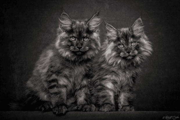 robertsijka14 Majestic Portraits of Maine Coon Cats That Become Mythical Creatures