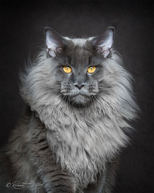 robertsijka4 Majestic Portraits of Maine Coon Cats That Become Mythical Creatures