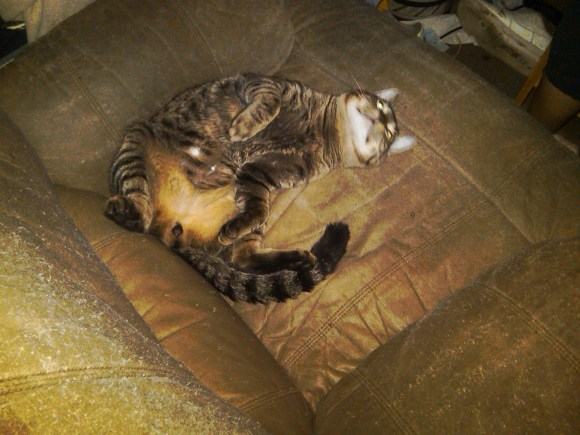 tabby male cat from hoarder house