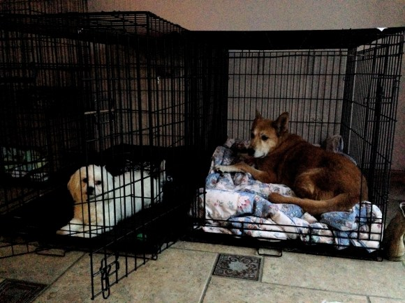 Kim's dogs in their crates
