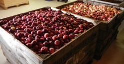 Wayside Cider sources all of its apples from the Catskills and the Hudson Valley. This fall's harvest awaits the press. Photo by Catskill Eats