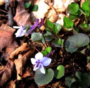white violets_hr