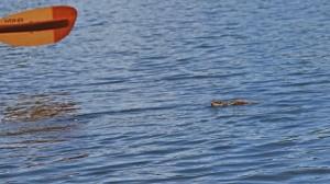 swimming chippy r