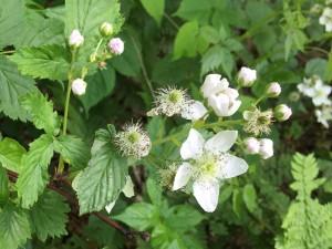 common blackberry -LK