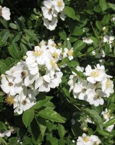 Multiflora Rose -WG