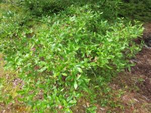 IMG_1115 Lowbush Blueberry -WG