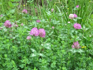 IMG_4366 Red Clover -WG