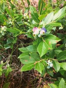Lowbush Blueberry -LK
