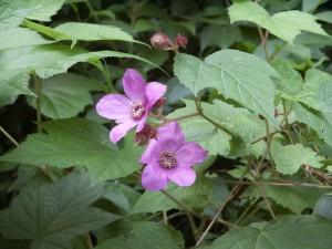 Purple Flowered Raspberry -WG