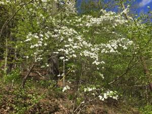 Flowering Dogwood -LK