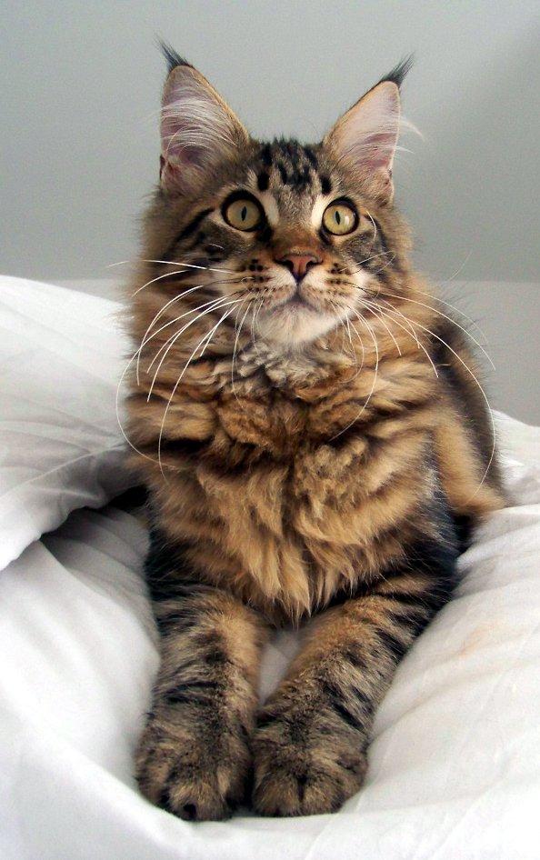 Album photo Gereg Catsmandou levage familial chats maine
