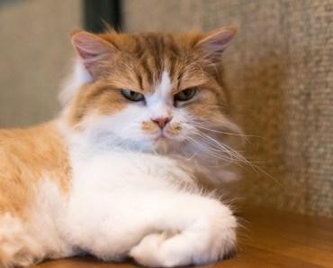 CUTE CAT BREEDS