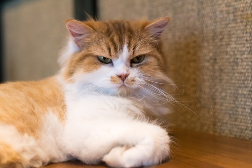 CUTE CAT BREEDS