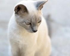 GREY CAT BREEDS