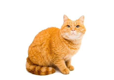 ORANGE CAT BREEDs