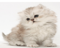 PERSIAN CAT BREEDS