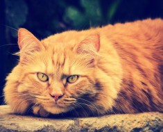 LARGE DOMESTIC CAT BREEDS