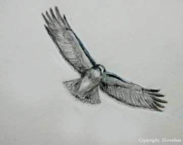 hawk drawing 2006