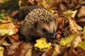 hedgehog bonfire safety
