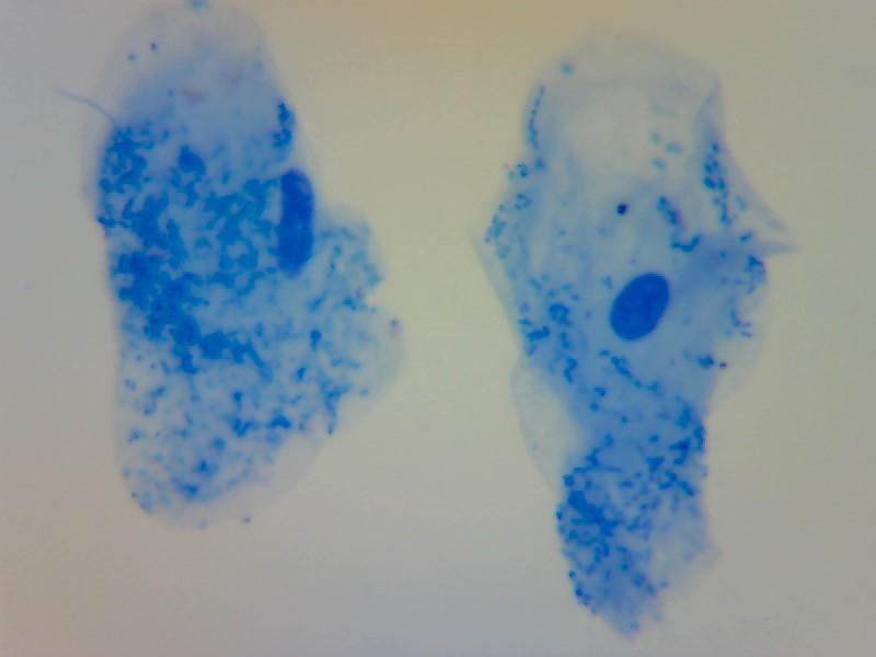human cheek cell animal cell x400 eukaryote microscopy methylene blue