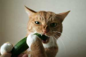 whats the deal with cats and cucumbers