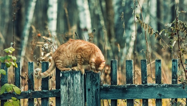 Red cat on a fence