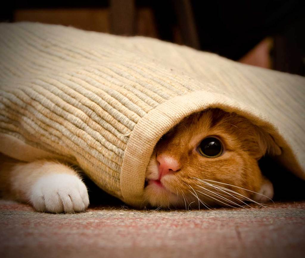 Red tabby and white cat peaking out from under a rug
