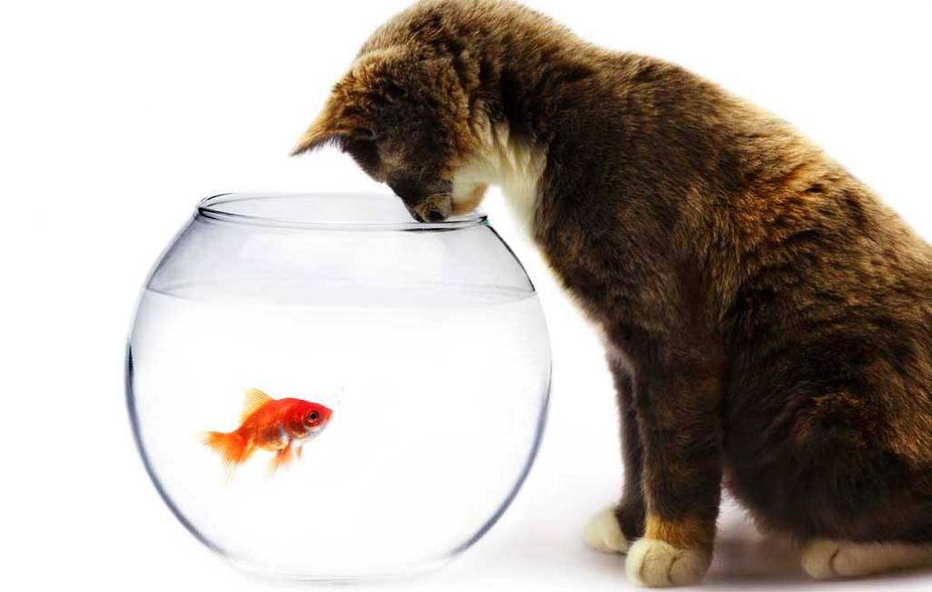 Calico kitten staring into a fishbowl at a goldfish