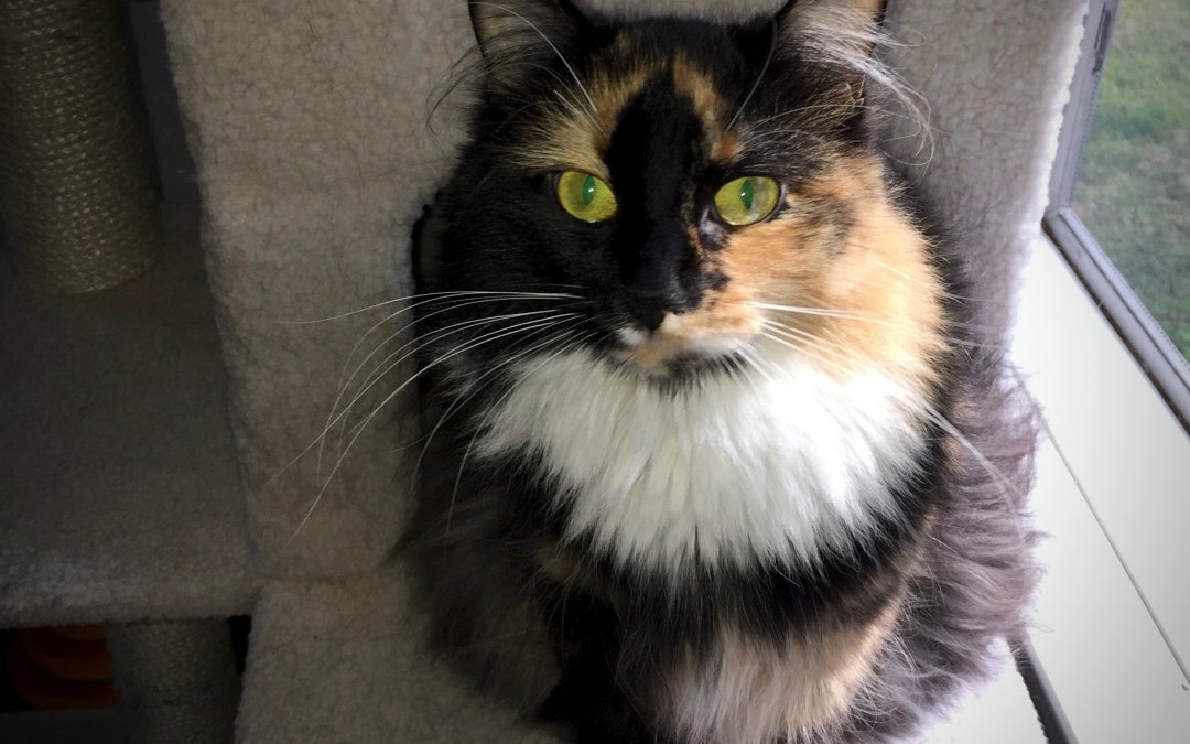 My fluffy calico cat posing on a cream-colored perch.