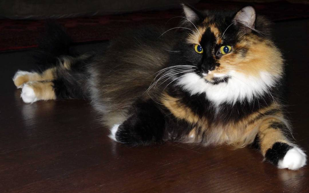 Fluffy calico cat stretch regally on the floor scowling