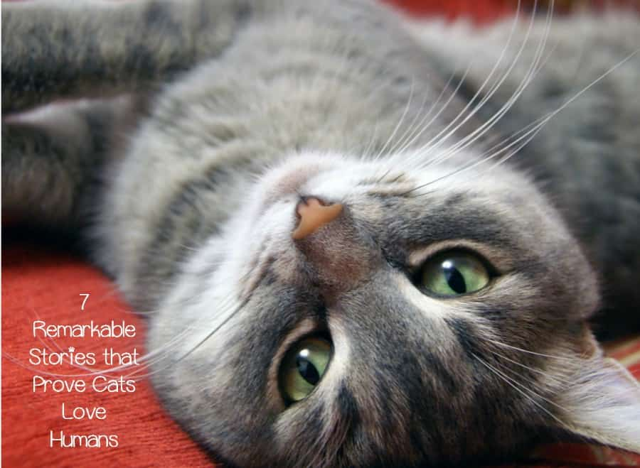 7 Incredible Stories That Prove Cats Love Humans Catvills