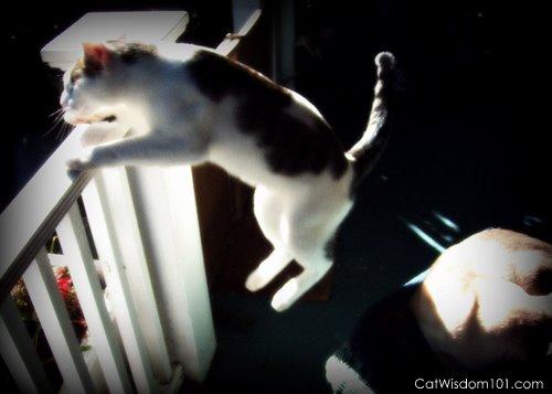 cat-jump-leap-how high