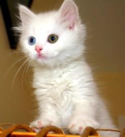 Turkish_Van_Cat