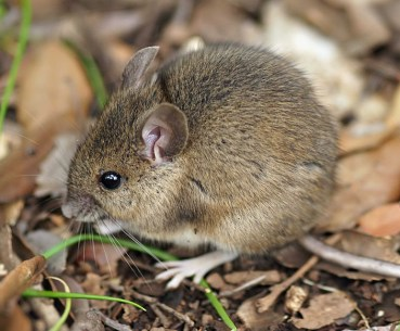y-not-field-mouse