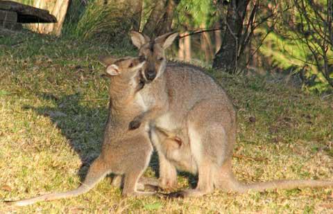 Koalas In My Backyard Or What Is Biodiversity
