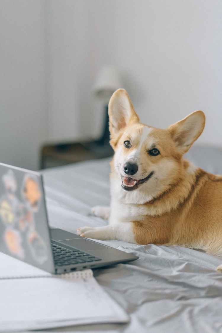 cute corgi in front of a laptop