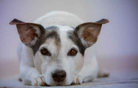 adult white and black jack russell terrier