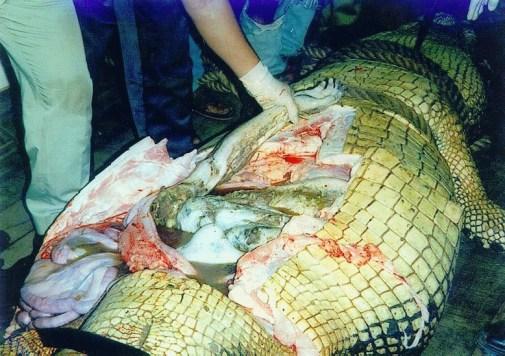 Crocodile Eats Man