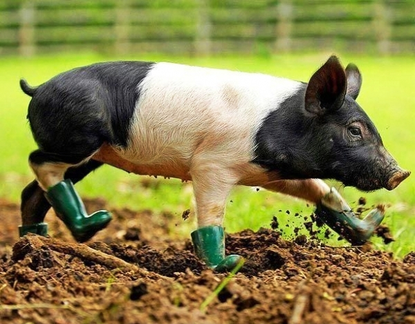Pig with boots