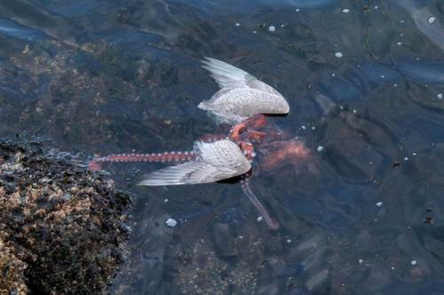 Octopus attacking a seagull