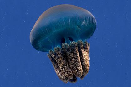 Jellyfish - Caustic Soda