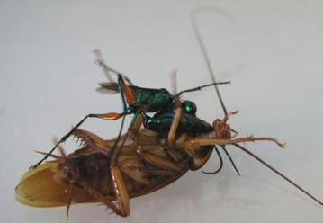 cockroach-green-jewel-wasp