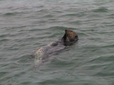 Sea Otter and Harbor Seal pup