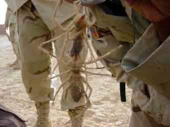 camel-spider