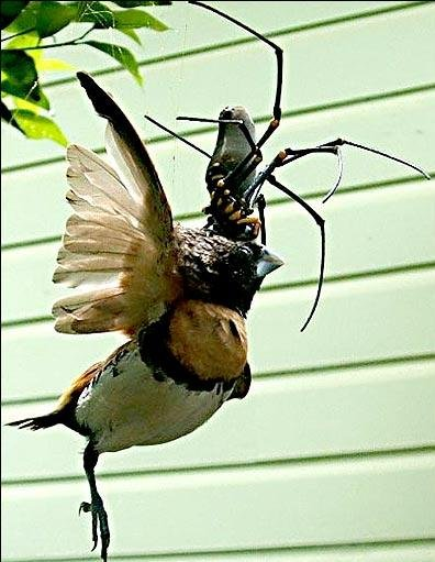 golden-orb-weaver