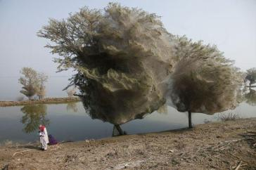 spider-tree